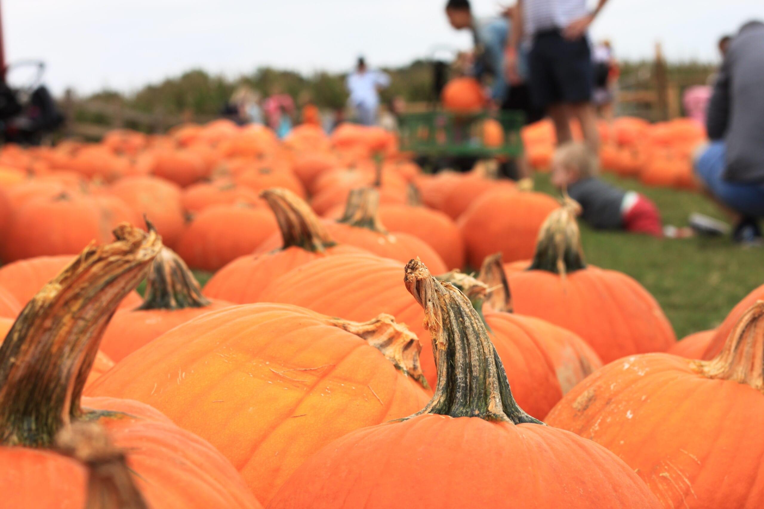 Pumpkin patch in McDonough Georgia