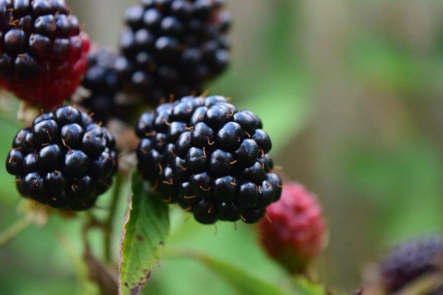 Southern Belle Farm Blackberries