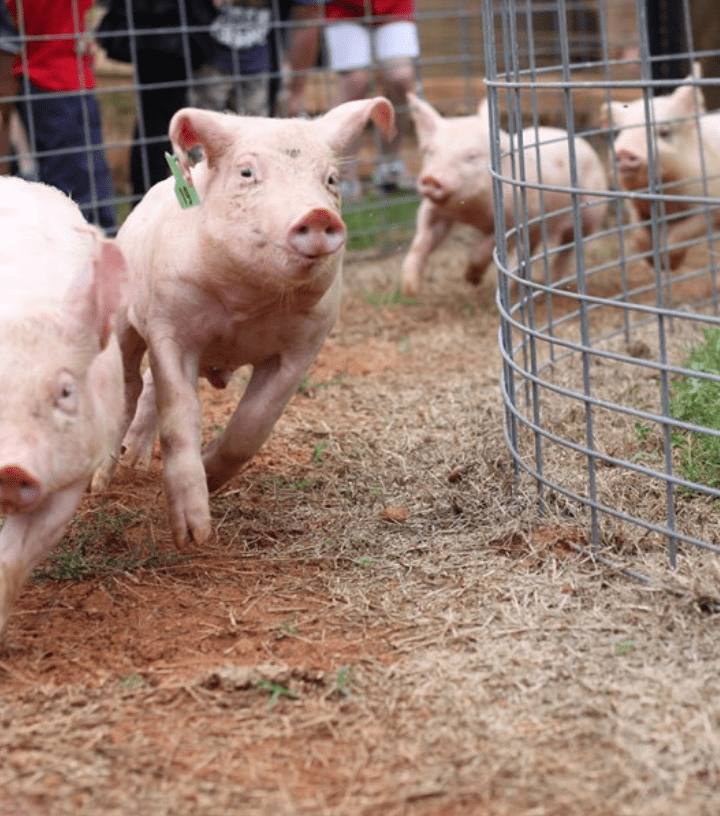 Southern Belle Pig Races