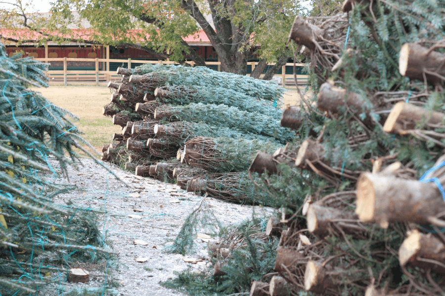 Southern Belle Farm Christmas Trees