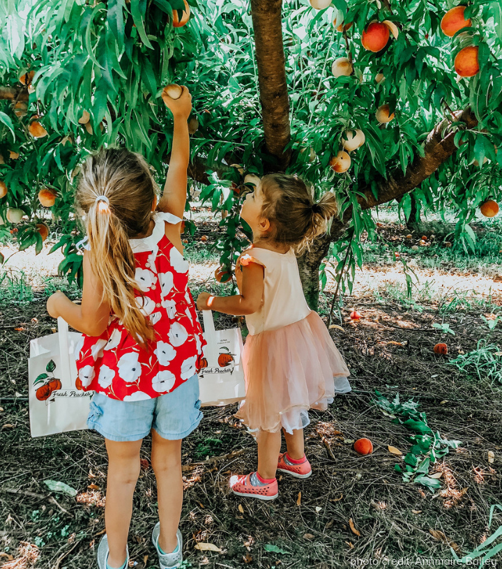 Southern Belle Peach Picking Photo Credit - Annmarie Bailey