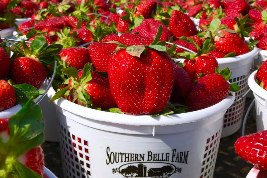 Southern Belle Blog Strawberries