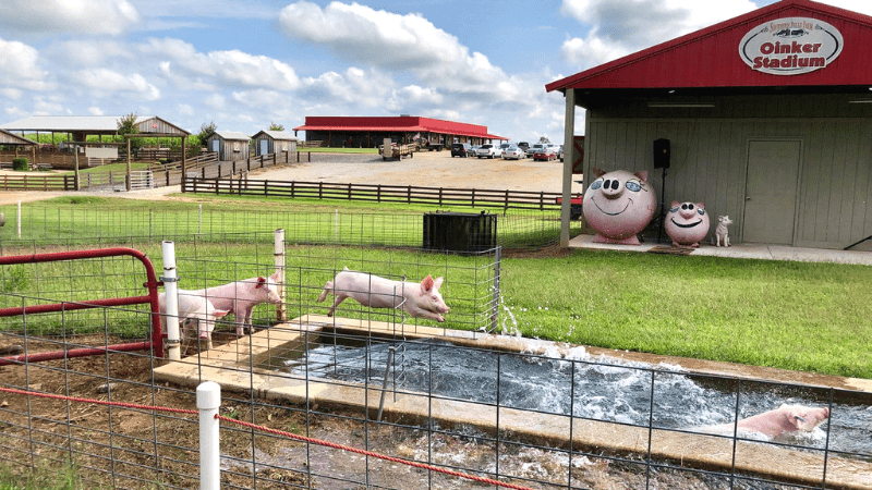Pig Racing at Southern Belle Farm