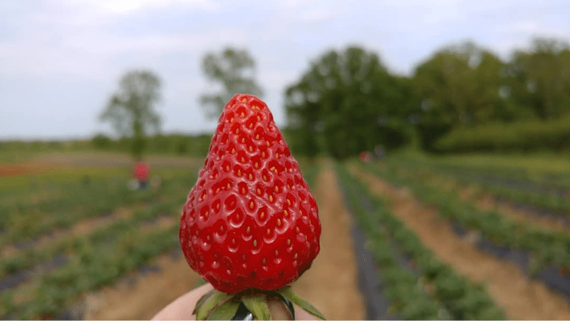 See You This Spring for U-Pick Strawberries!