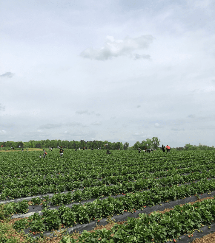 Strawberry Picking at Southern Belle Farm