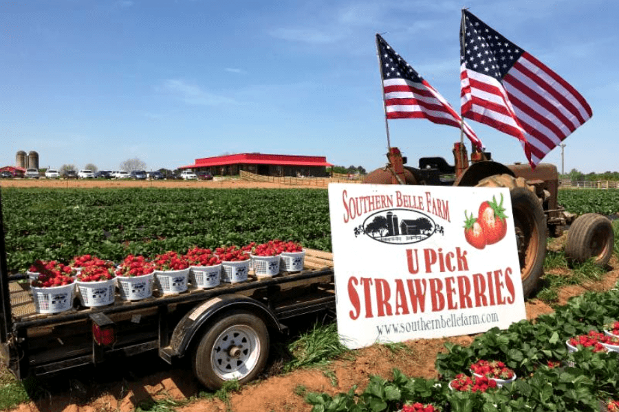 A truck bed full of buckets of strawberries in a farm field