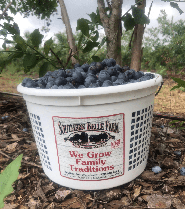 Southern Belle blueberries
