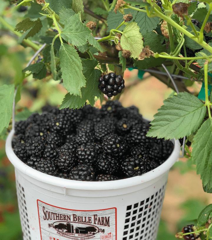 Southern Belle Blackberries