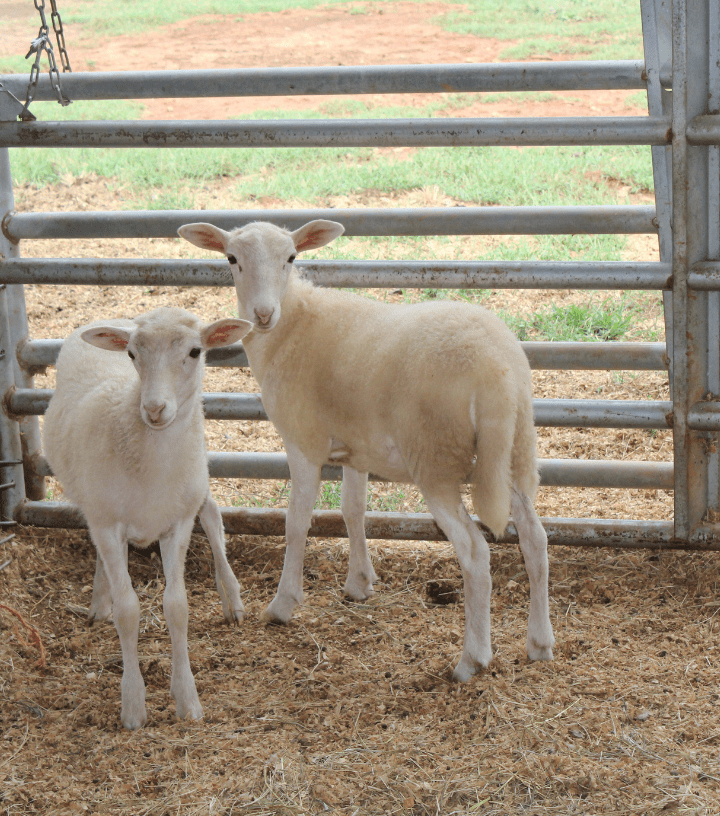 Southern Belle lambs
