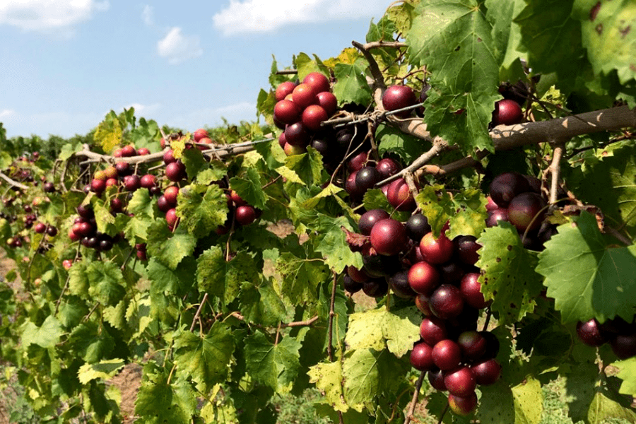 Visit Southern Belle Farm for U-pick Muscadines!