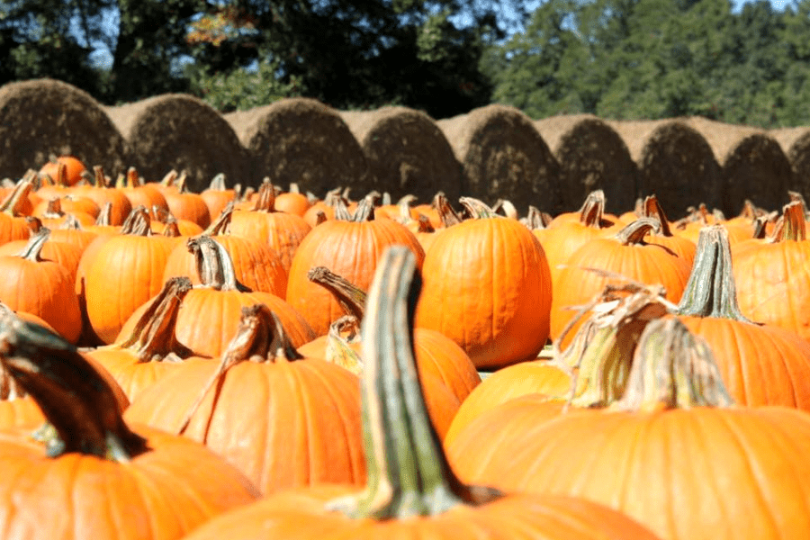 Southern Belle pumpkin patch