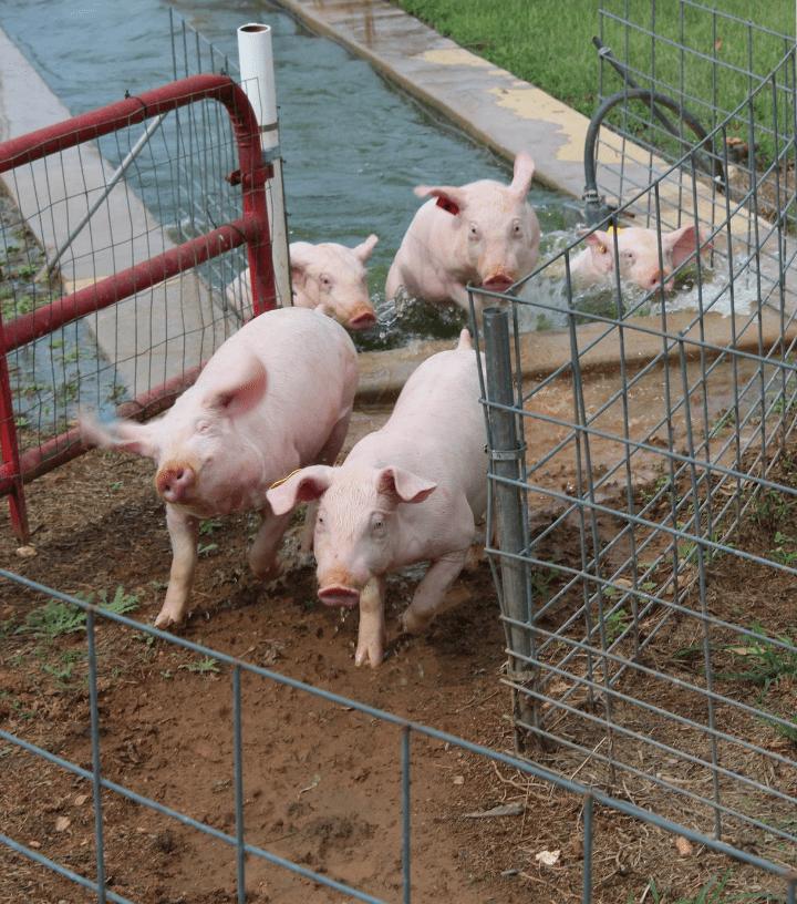 Pig Races Southern Belle Farm Fall Season