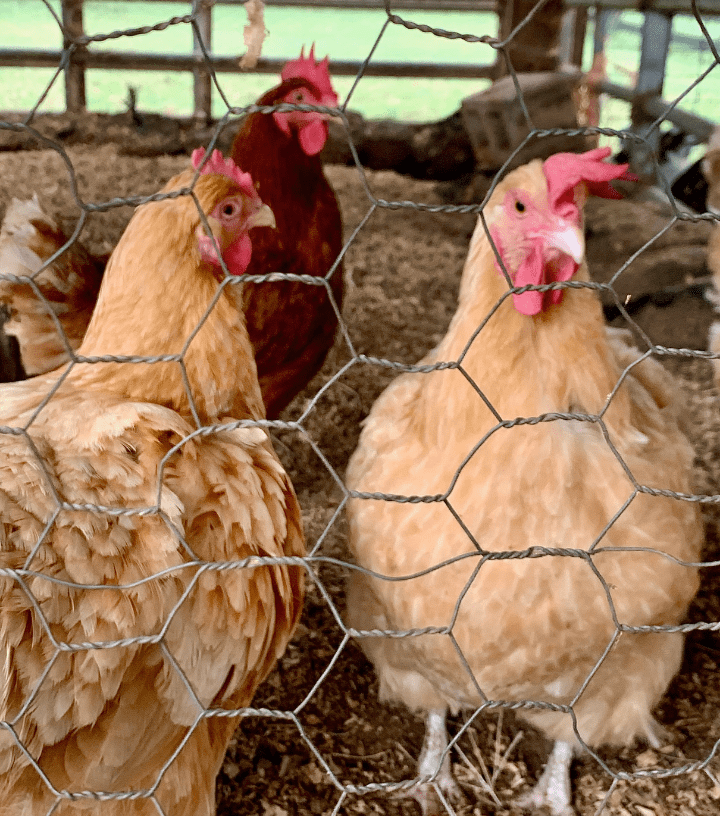 Southern Belle Chickens
