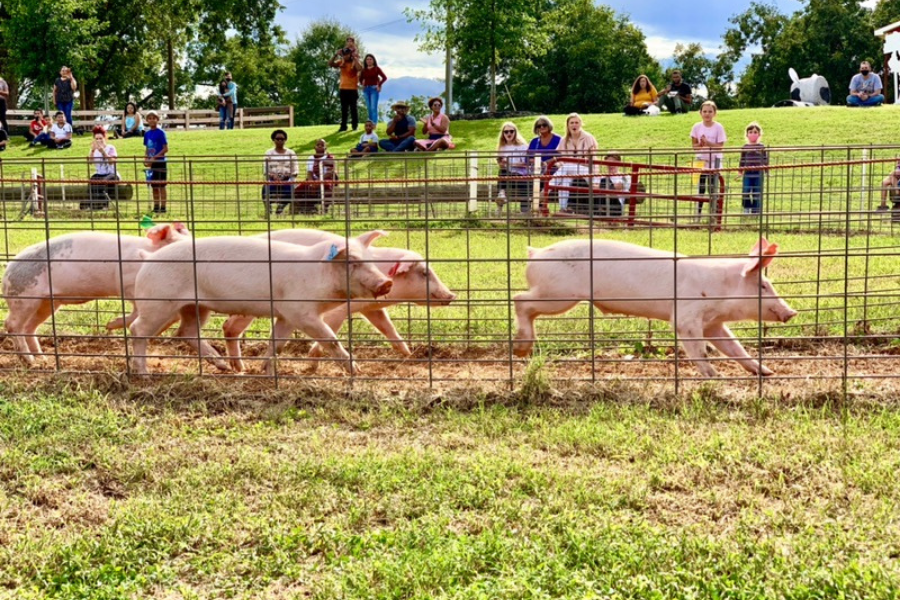 Pig Races Southern Belle Farm Fall