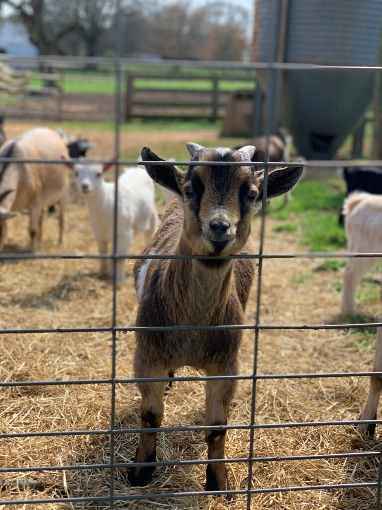 goats looking through a fence