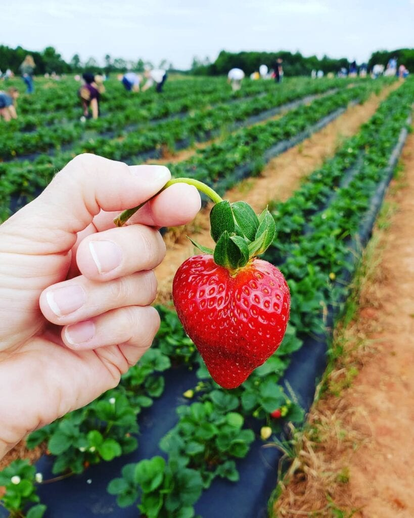Hand holding a single strawberry at a strawberry patch