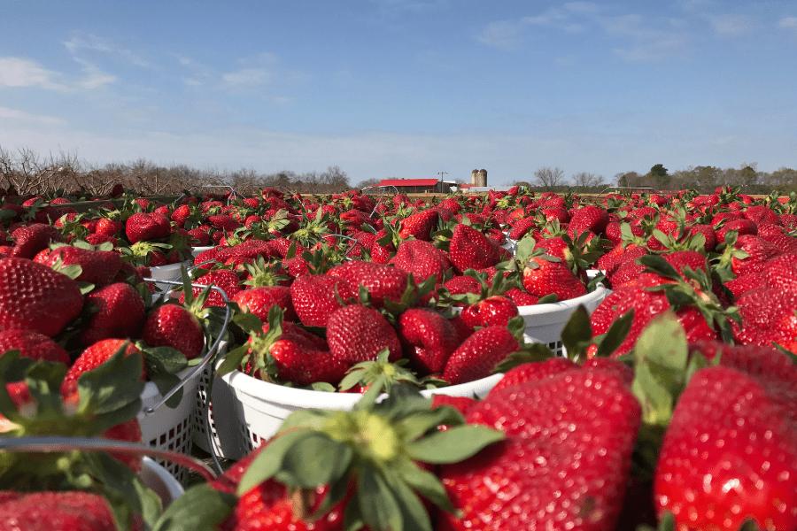 We Love Strawberry Season! Come Enjoy U-Pick This Spring.