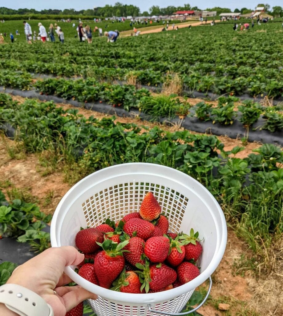 A full bucket of strawberries at a farm