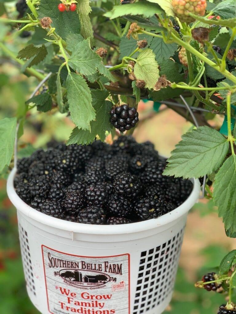 a bucket of blackberries