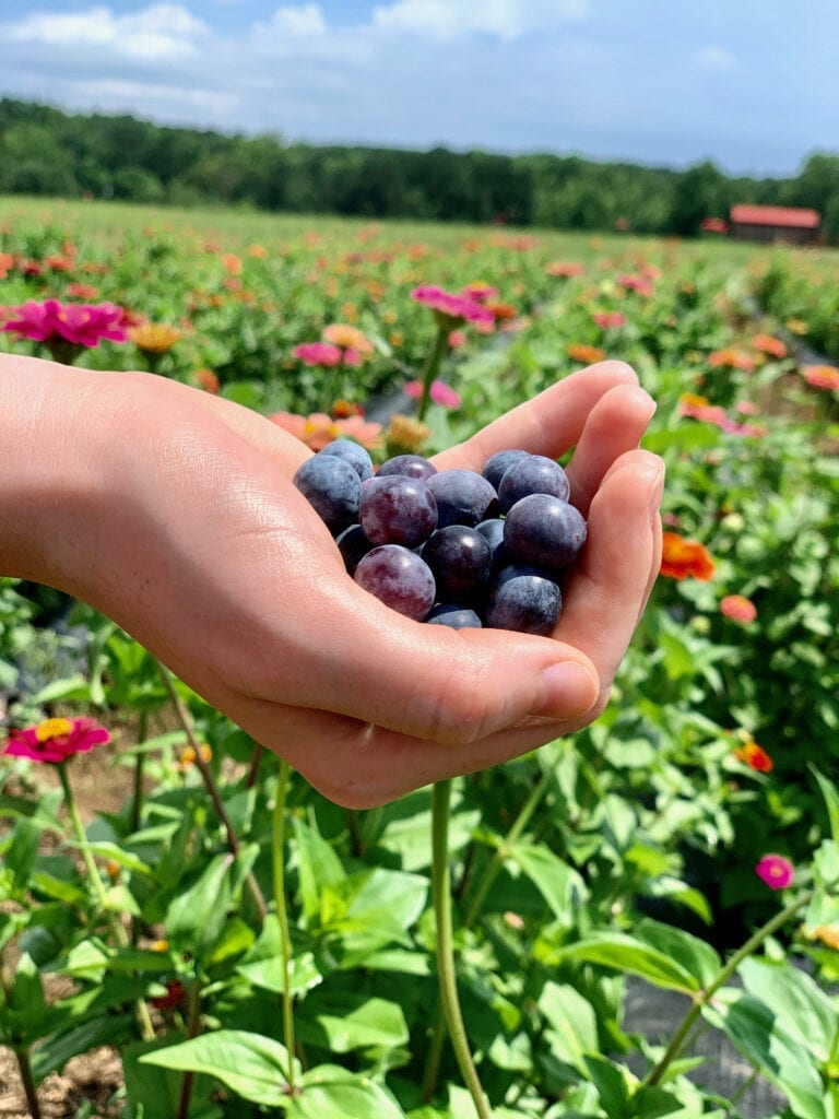 a hand holding blueberries in front of a flower field