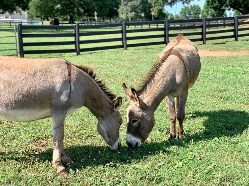 two donkeys eating grass