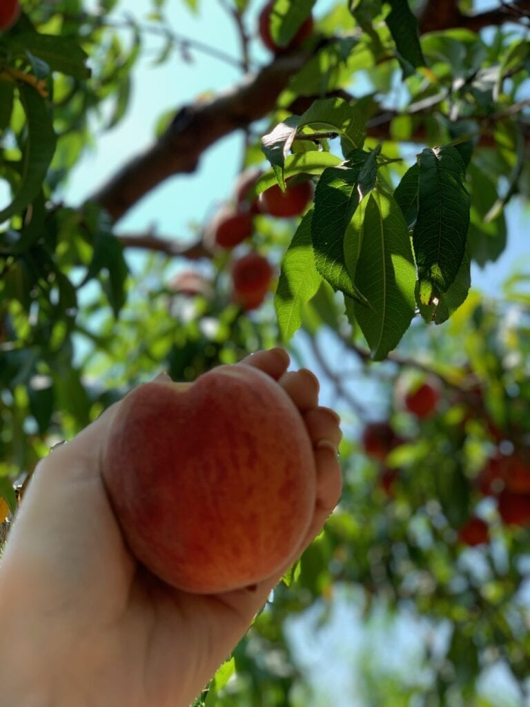 a hand picking a peach from an orchard