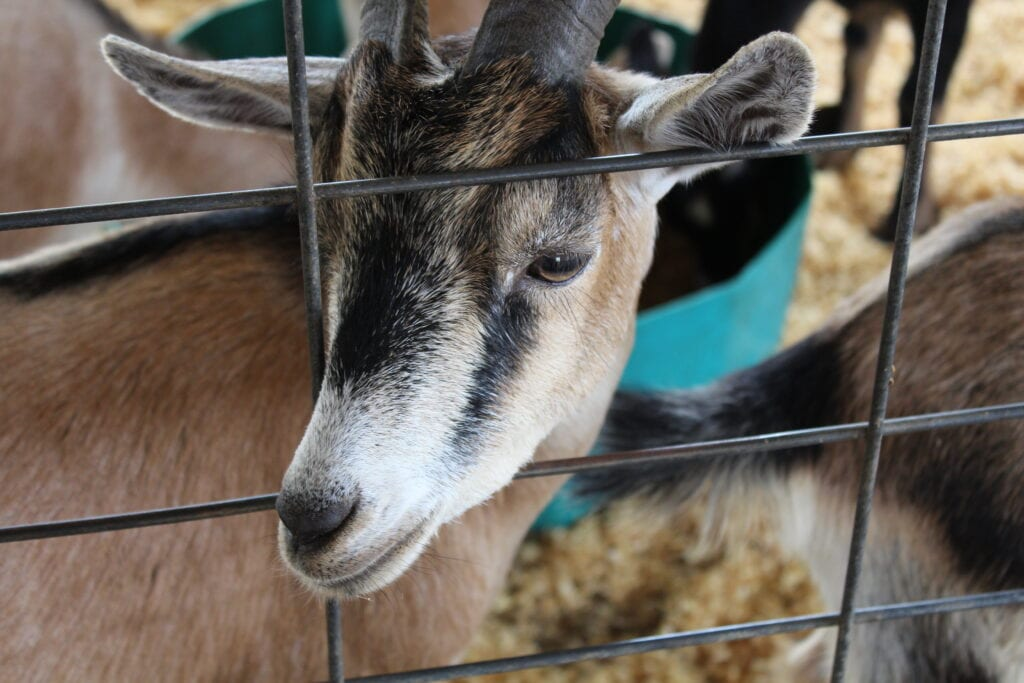 a goat sticking his head out of a fence