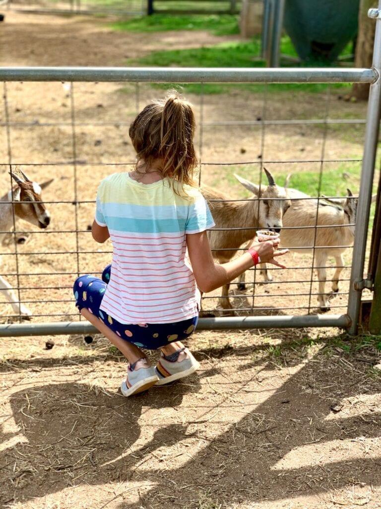 a young girl feeding goats